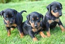 Allevare cuccioli di Pinscher
