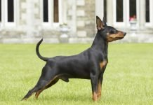 Malattie congenite del Pinscher Toy