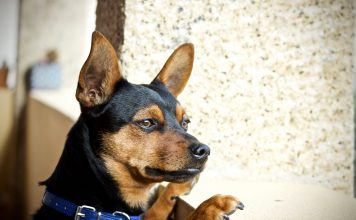 Il carattere forte del Pinscher Toy