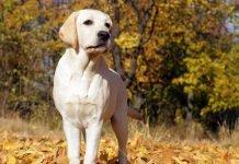 Perché scegliere un Labrador Retriever